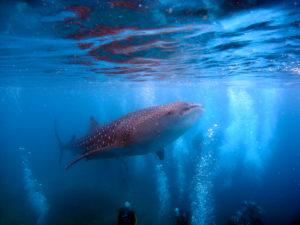 Oslob Whaleshark